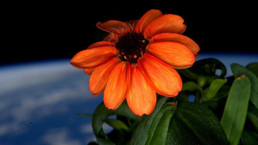 ZINNIA: il primo fiore sbocciato nello spazio